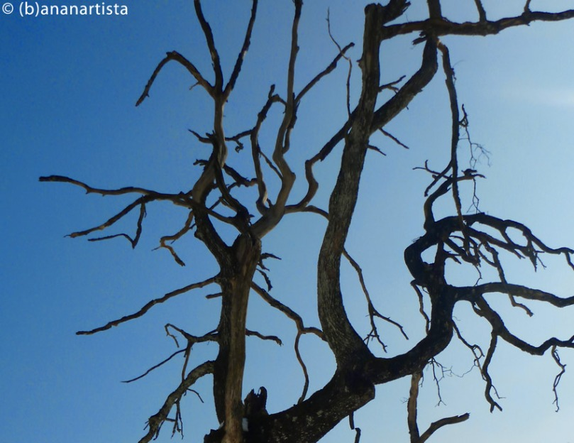 GINSENG TREE photography by (b)ananartista sbuff © 2015 all rights reserved
