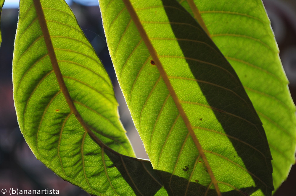 LOQUAT LEAVES photography by (b)ananartista sbuff © 2015 all rights reserved