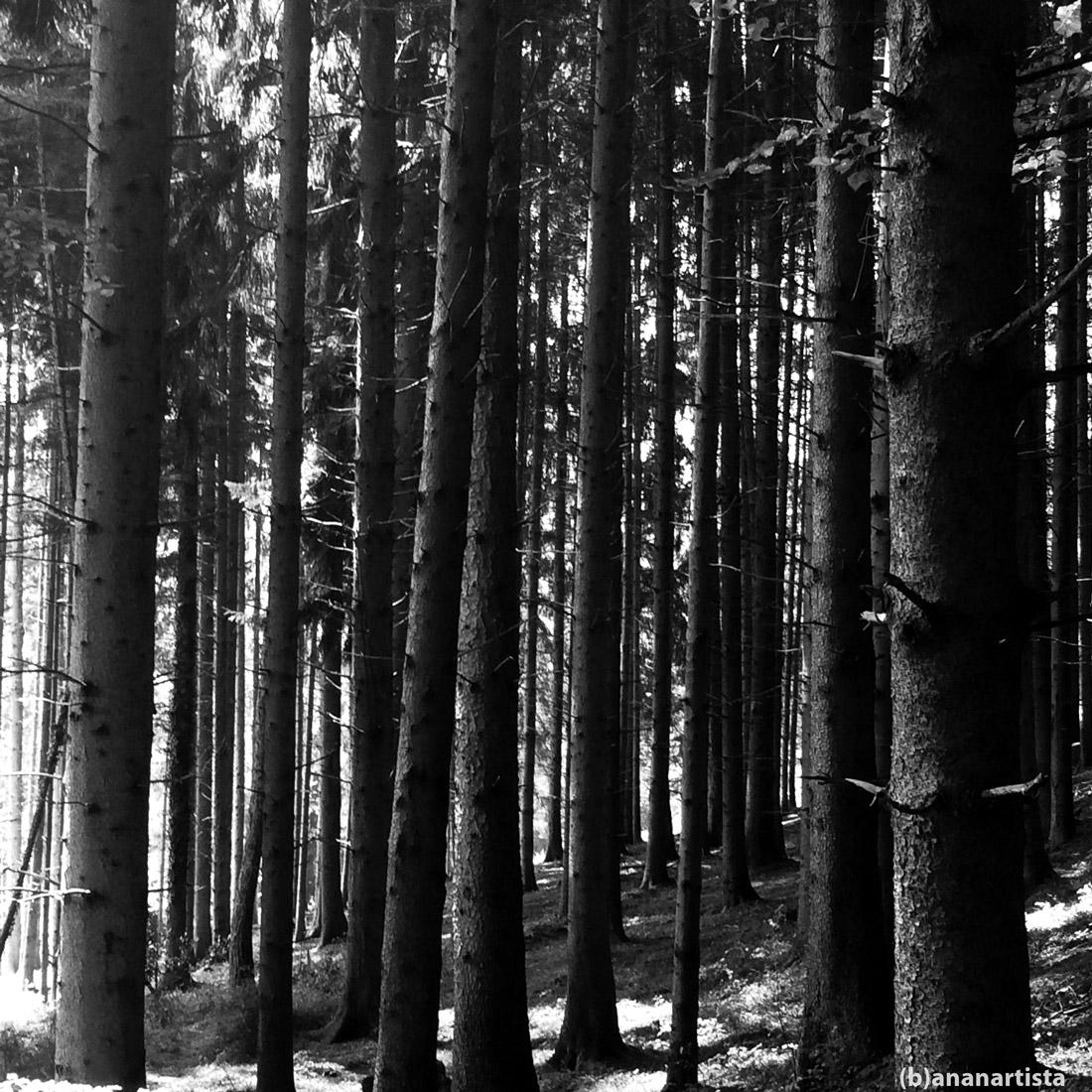 l'essere mi bea: bosco di conifere in bianco e nero di (b)ananartista sbuff